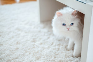 How to Stop Cats from Pooping on The Carpet: