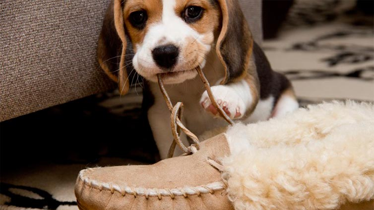 How Do I Get My Dog to Stop Chewing Shoes?