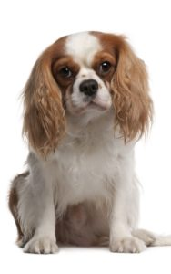 Unceremonious King Charles Spaniel