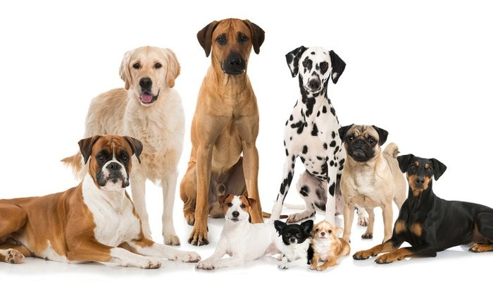 Best Dog Breed for Family