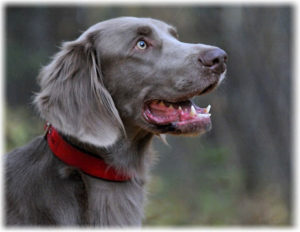 long Haired Weimaraner Puppy