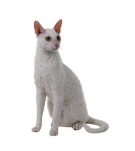Cornish Rex Cat Breed with Big Eyes